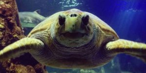 Dingle Oceanworld have successfully rehabilitated seven Loggerhead turtles.